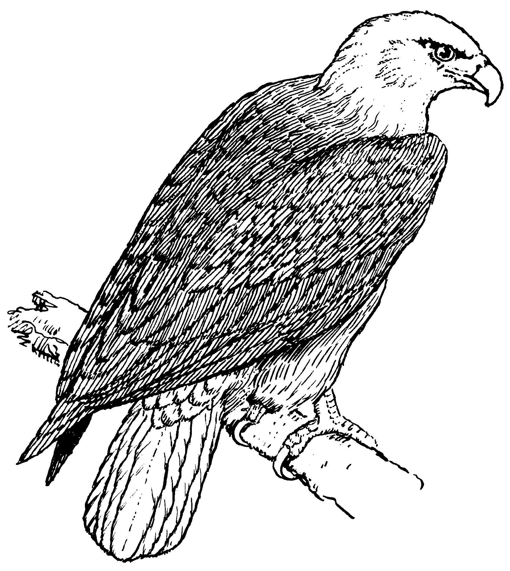 don't forget to share bald aigle dessins à colorier on facebook, twitter