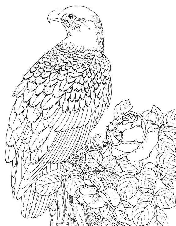 wdfw bald aigle dessin à colorier detailed image de an aigle resting.