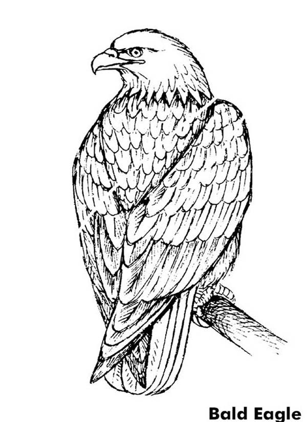 aigle dessin à colorier here home bald aigle beautiful bald aigle coloriage