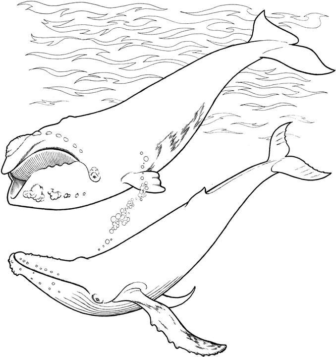 Coloriage baleine a colorier