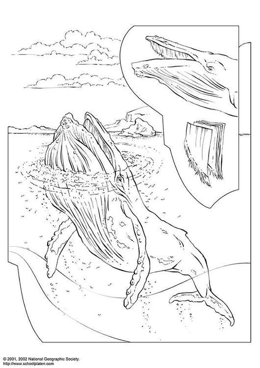 Coloriage gratuit de baleine à imprimer