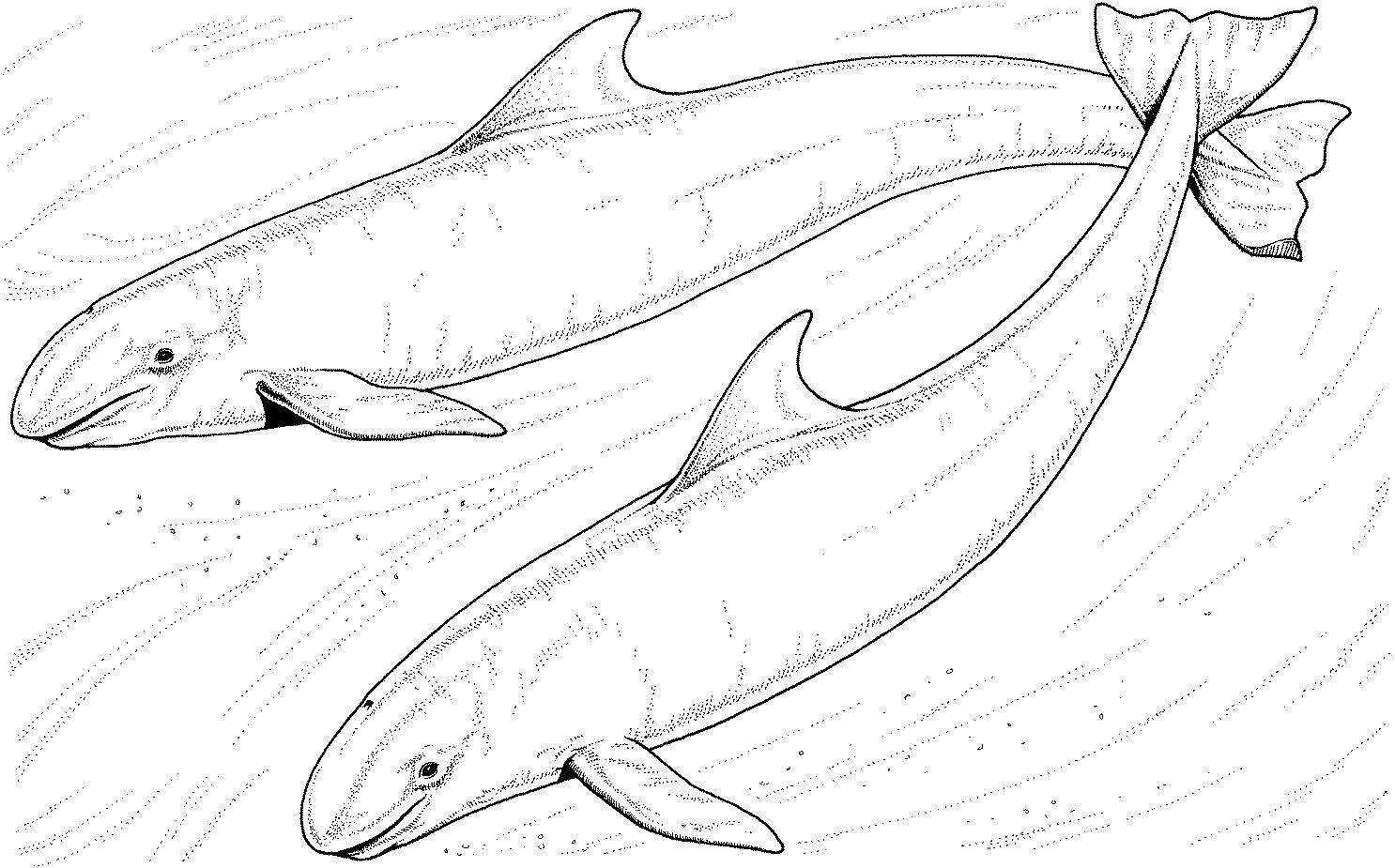 Dessin gratuit de baleine a imprimer et colorier