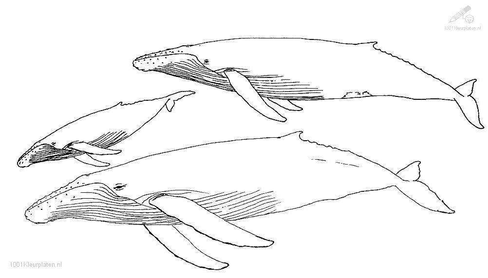 Coloriage de baleine