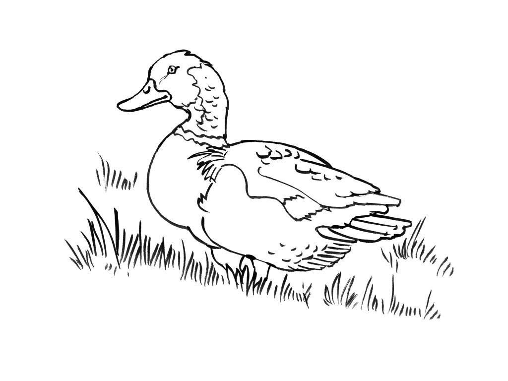 69 dessins de coloriage canards à imprimer sur LaGuerche ...