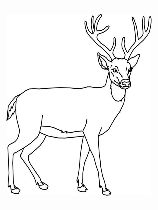 Line Drawings Of Animals Deer : Sélection de coloriage chevreuil à imprimer sur laguerche