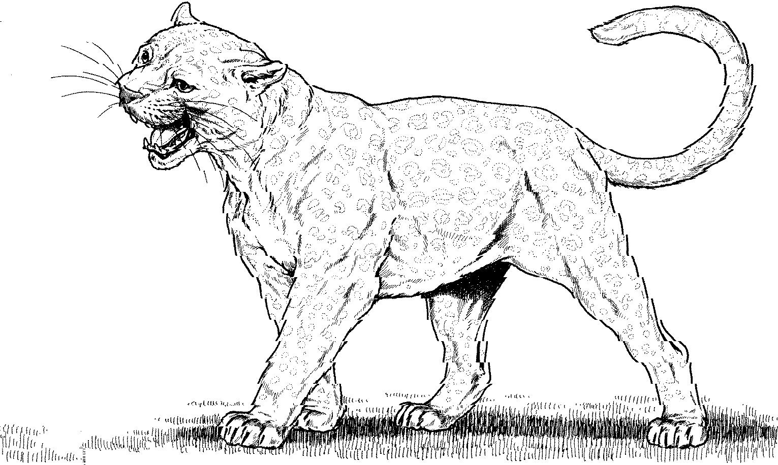 Coloriage de cougar gratuit à imprimer