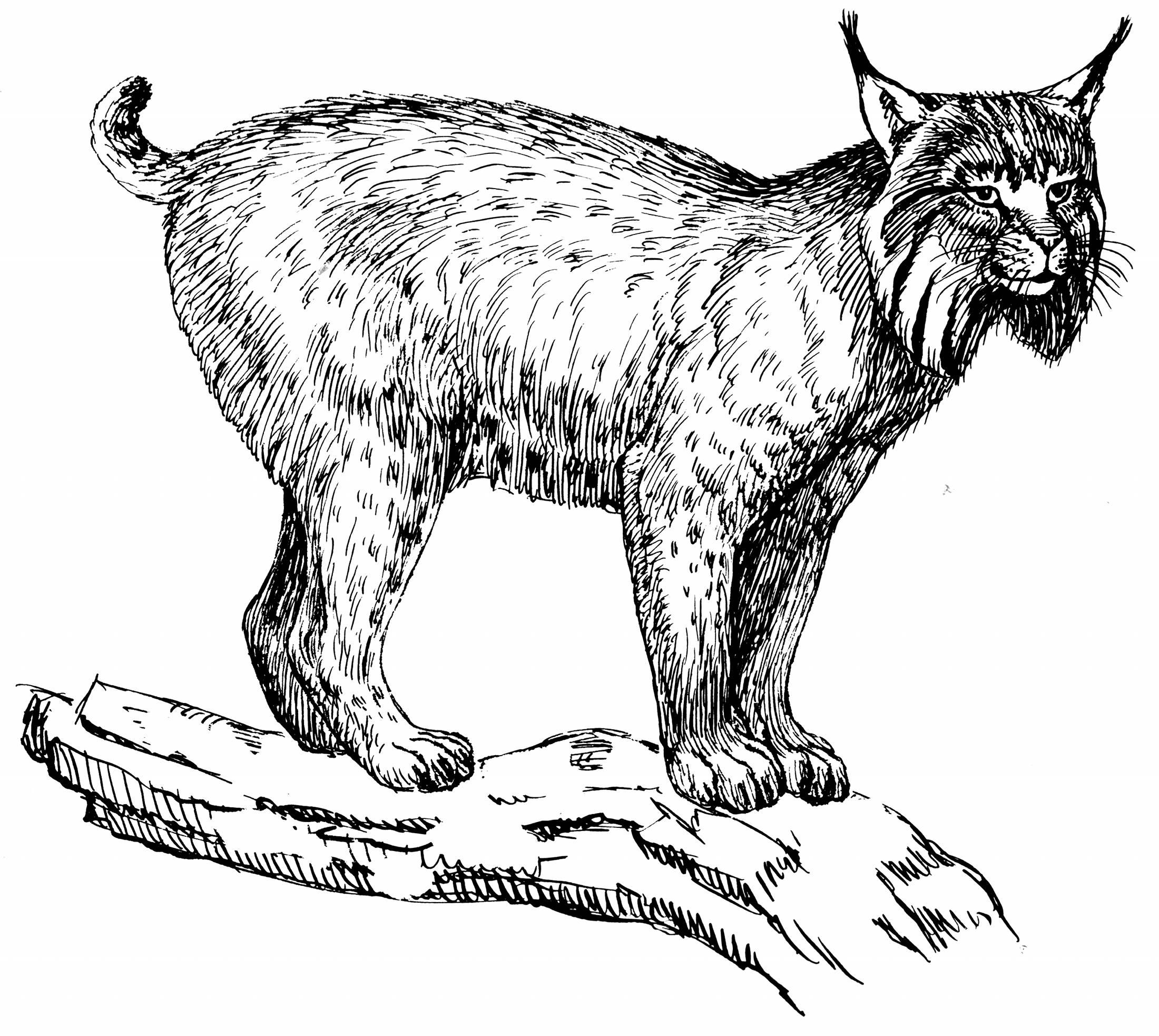 Activité de coloriage cougar à imprimer