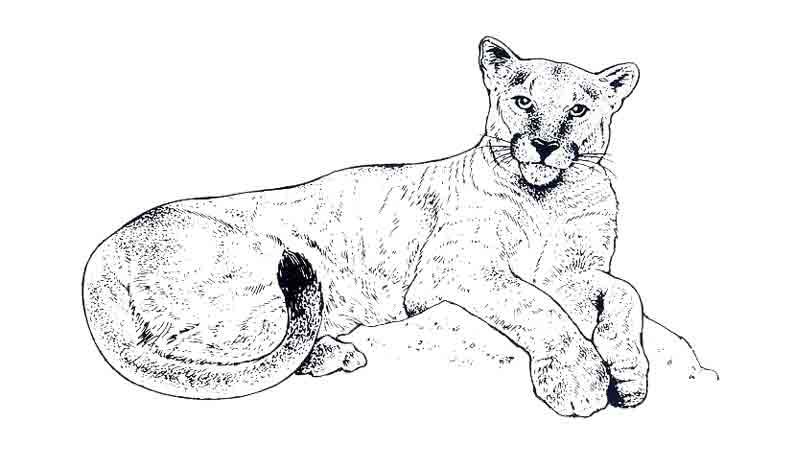 Dessin gratuit de cougar a colorier
