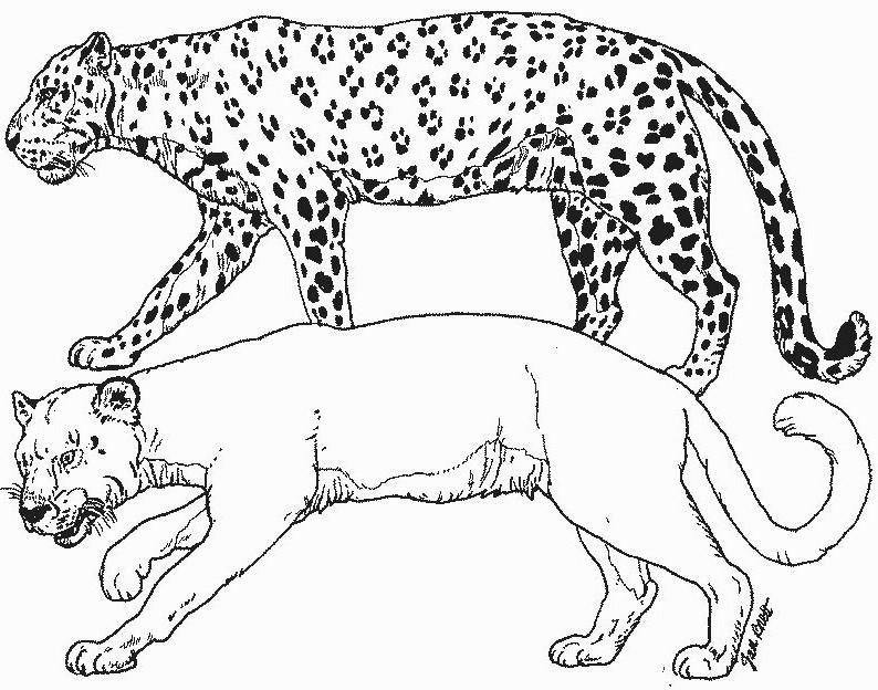 Activité de coloriage cougar gratuit a imprimer et colorier