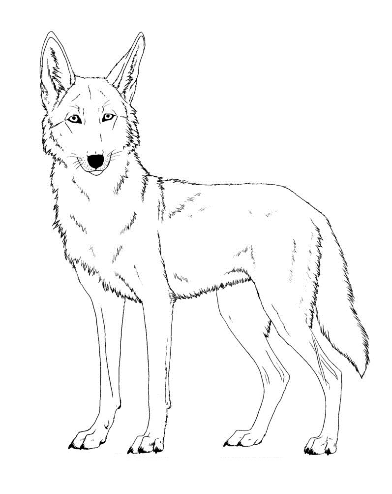Coyote drawing kids