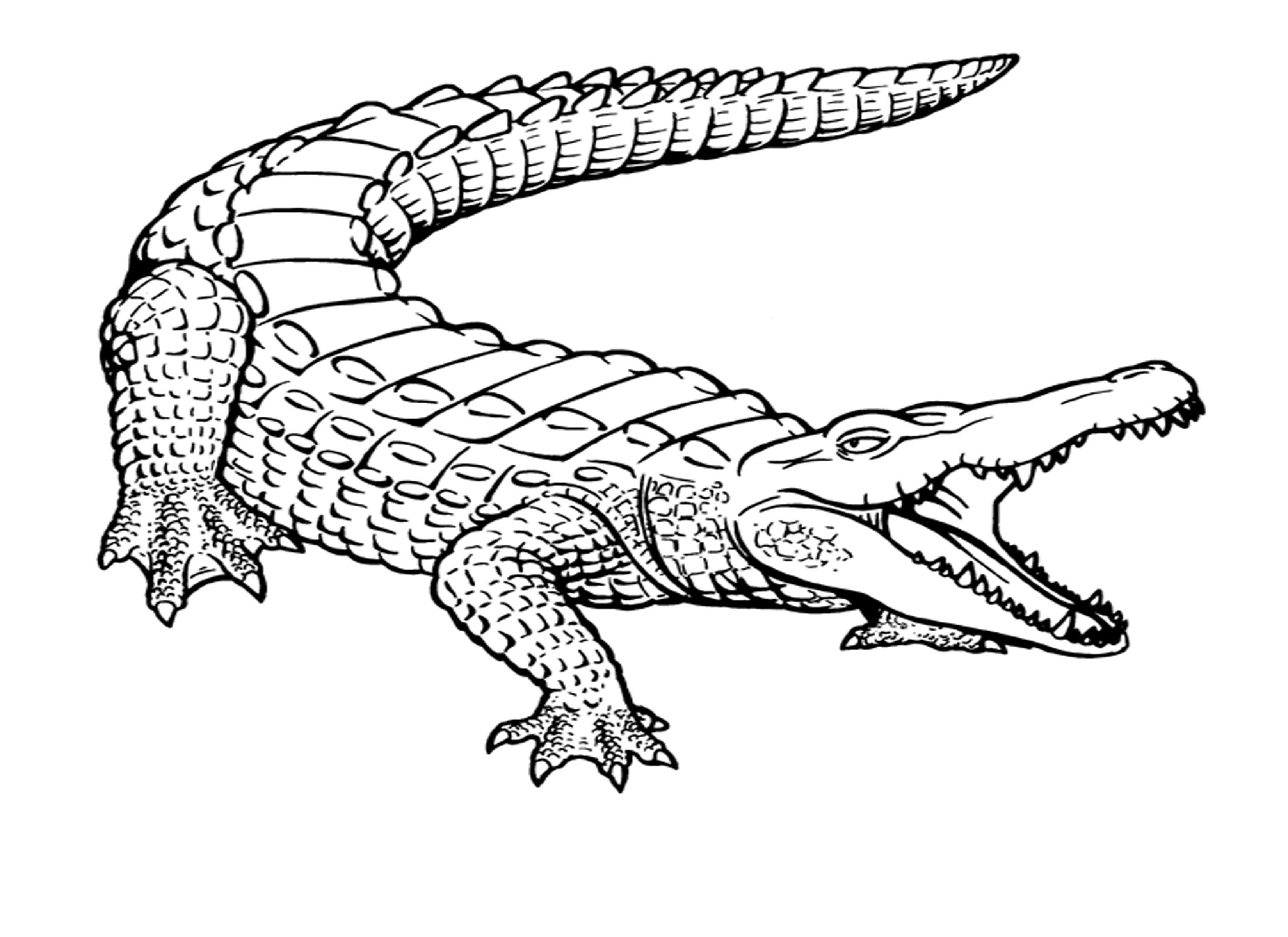 Line Drawing Year : Dessins de coloriage crocodile à imprimer sur