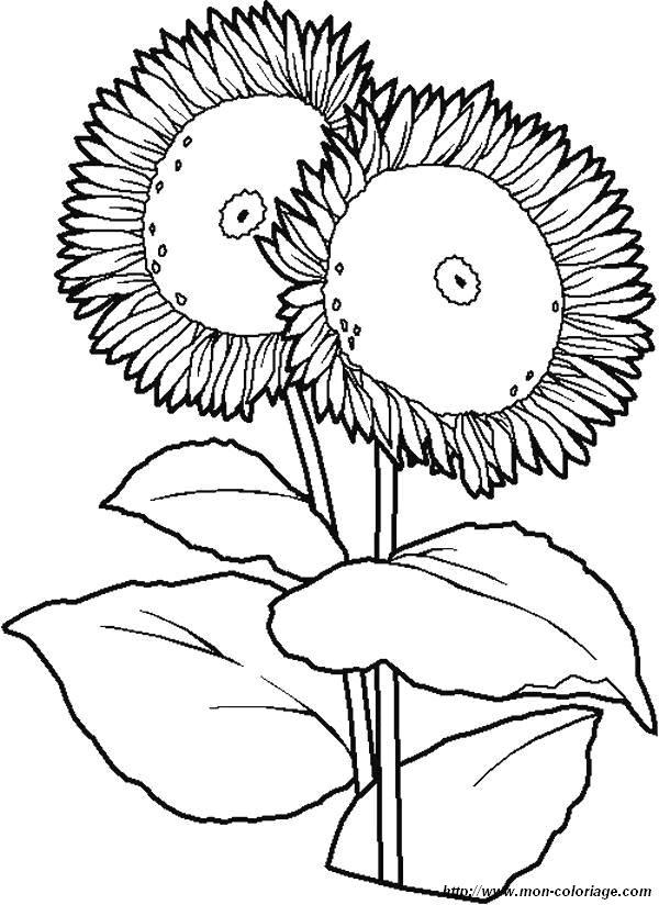 coloriage de fleur, dessin coloriages fleur tournesol à colorier