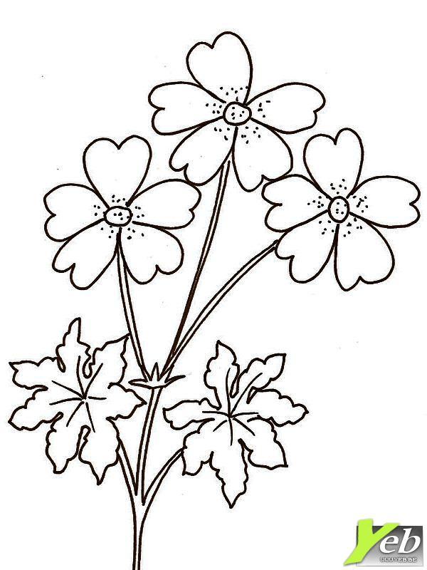 coloriage fleur le géranium sauvage
