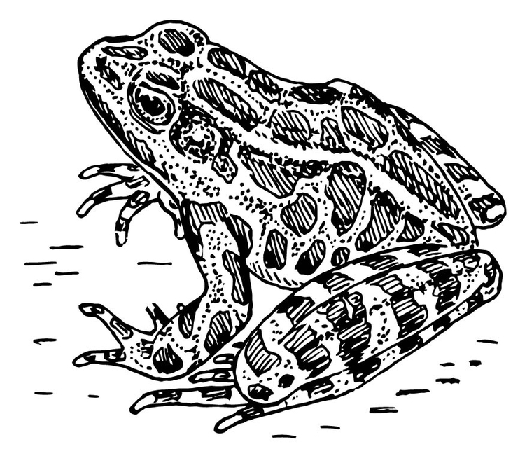 coloriage grenouille image