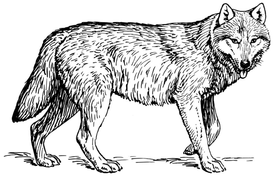 Le loup  Le loup