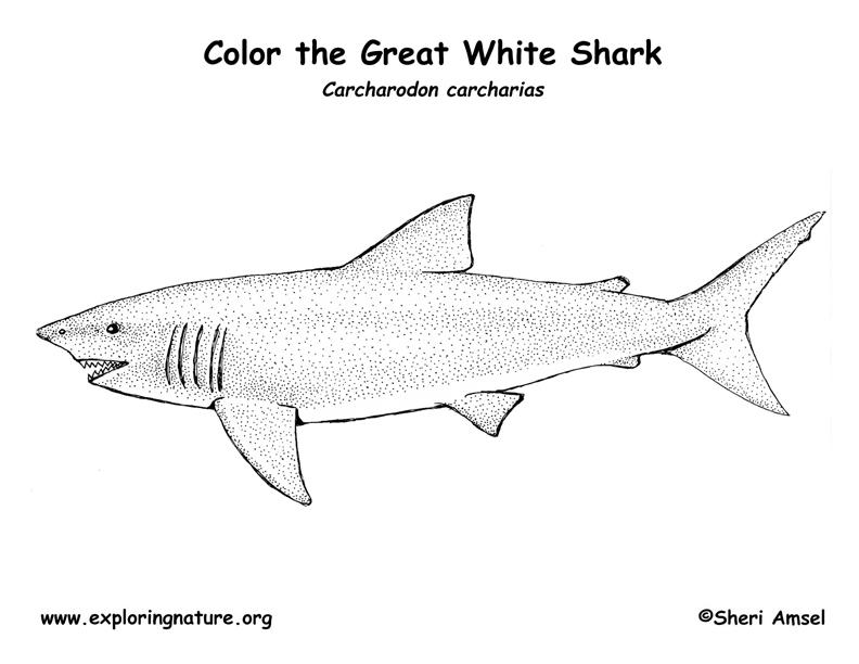 Selection De Coloriage Requin A Imprimer Sur Laguerche Com Page 3