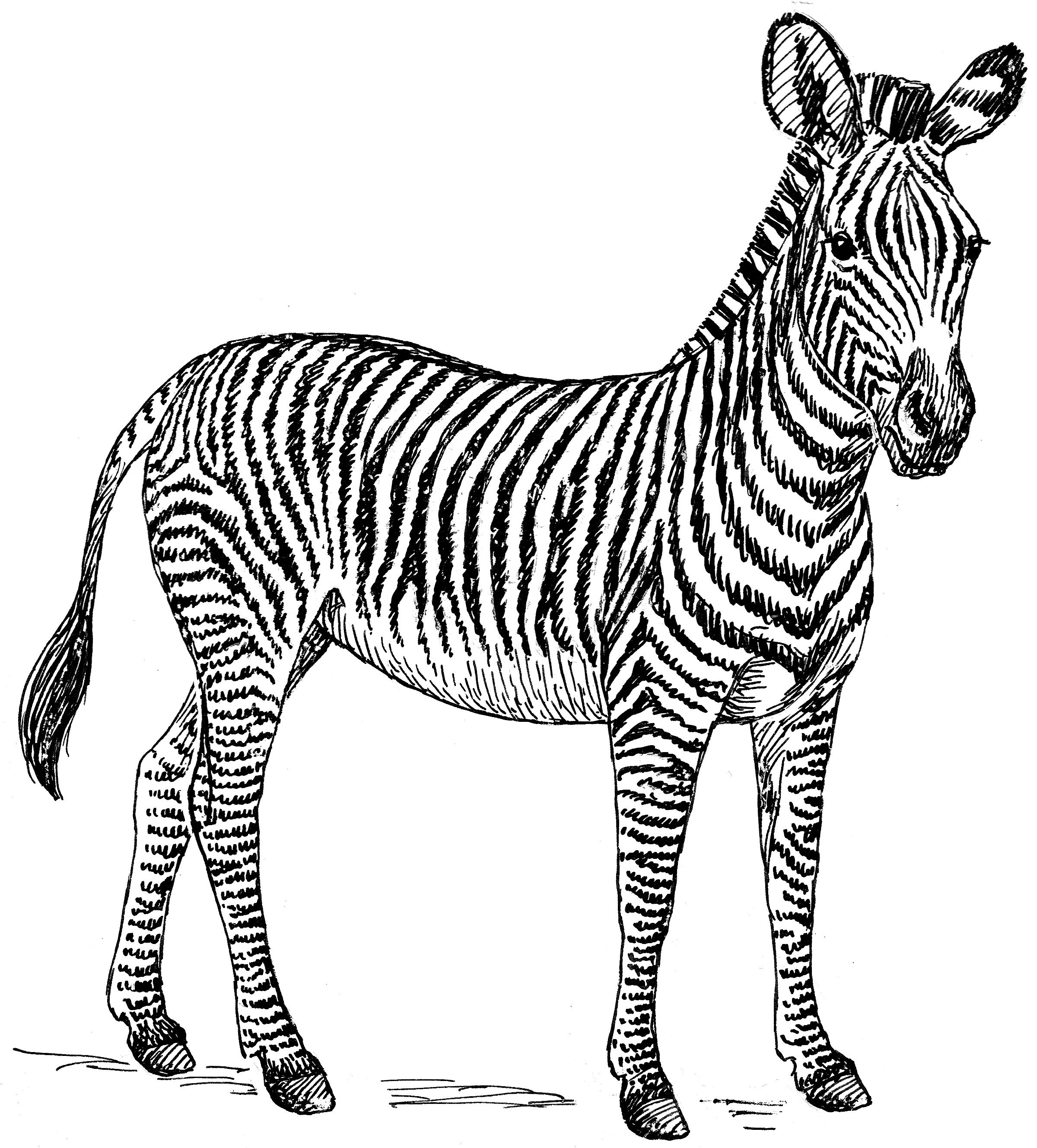 Coloriage Gratuit Zebre.Selection De Coloriage Zebre A Imprimer Sur Laguerche Com Page 1