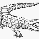 easier-alligator-coloring-page.jpg
